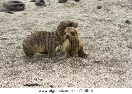 Sea Lion Pups Playing In The Shade On The Galapagos Islands