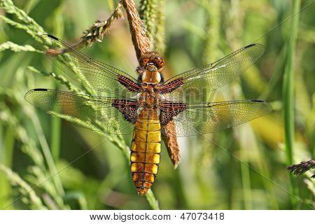 Broadbodied Chaser Dragonfly (Libellula depressa)