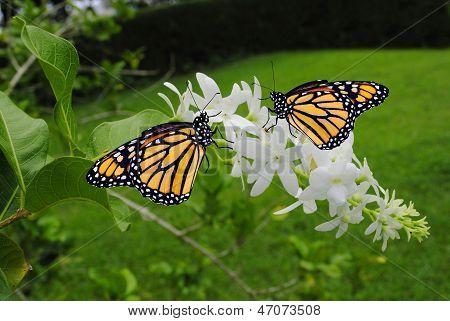 Monarch butterfles