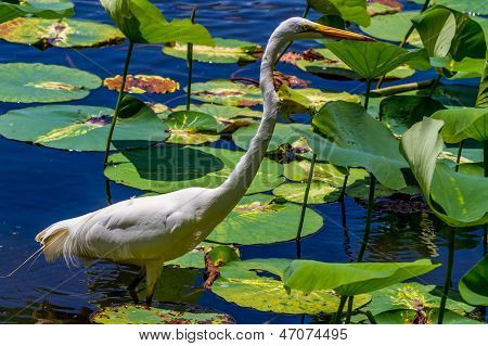 A Bright Beautiful Shot of a Wild Great White Egret in Water Lilies.