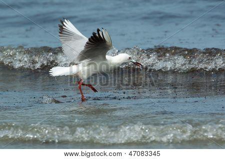 Slender-billed Gull Eating Fish