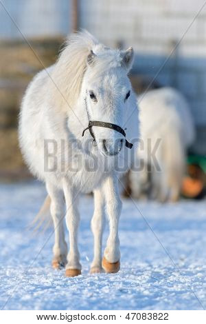 White pony walking in winter time outside. poster
