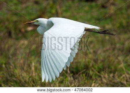 Western Reef Heron White Morph In Flight