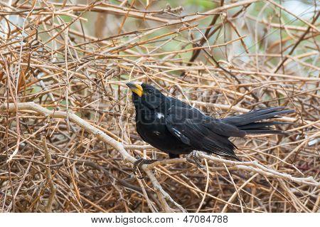 White-billed Buffalo Weaver On Nest