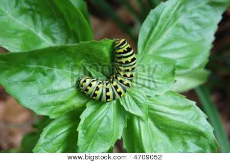 Basil Under Attack By Plump Caterpillar