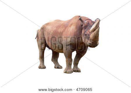 Male black rhinoceros (Diceros bicornis) standing against white background. poster