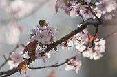 White-eye bird on blooming cherry on light gray background poster