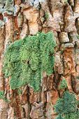 The picture of tree bark partially covered with green moss poster