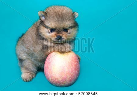 Puppy Of The Spitz-dog With Apple