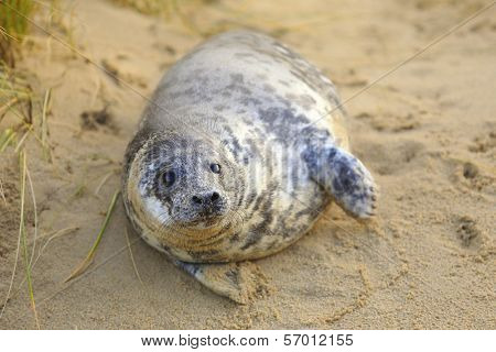 A grey seal pup on Horsey Beach, Norfolk, England, where a breeding colony has become established over the last few years. Despite its size this baby is only a few weeks old.