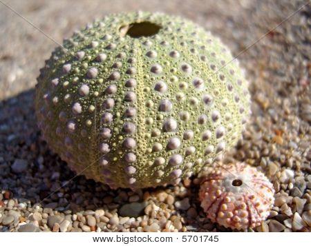 Urchin Family
