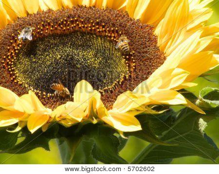Golden Sunflower