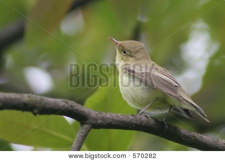Small Bird - Common Chiffchaff Or Willow Warbler