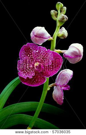 Beautyful Vanda pink orchids on black background poster