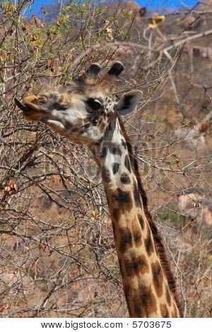 Giraffe Eating Bush