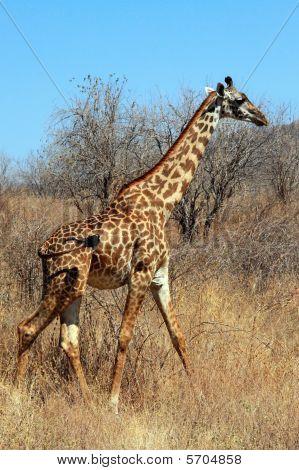 Giraffe in plain