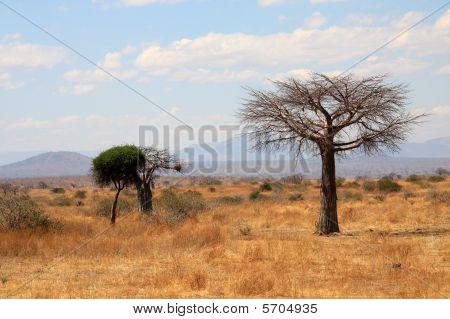 Savanna landscape with thin baobab and acacia bush