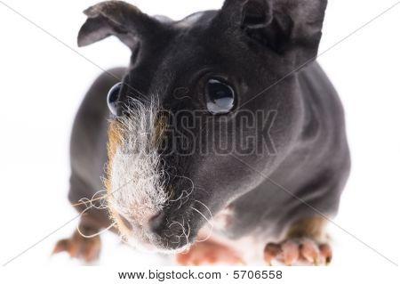 Skinny Guinea Pig On White Background