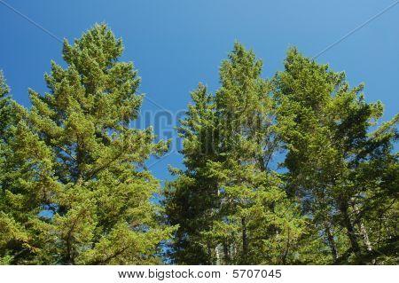 A grove of Douglas fir grows at the Oregon coast poster