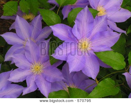 Clematis Flower Blossoms
