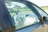 Small dog maltese sitting in a car with closed window poster