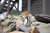 Chipmunk eating by a fire tower in Glacier National Park in Montana poster