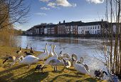 Swans and geese on the banks of the River Severn, Bewdley, Worcestershire, England. poster