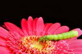Macro of a Green Caterpillar on a Pink Gerbra Isolated Over Black poster