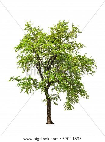 Ebony Tree (diospyios Rhodcalyx), Tropical Tree In The Northeast Of Thailand Isolated On White Backg