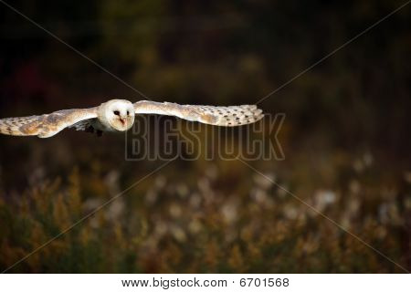 Closeup of a female Barn Owl in flight. poster