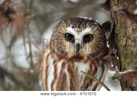Closeup of a Northern Saw-Whet Owl in winter. poster