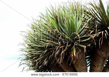 Green Succulent Cactus Plant Dracaena Draco Canarian Endemic poster