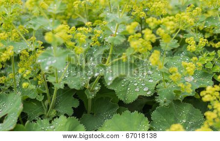 Silvery Dewdrops Sparkling On Velvet Leaves