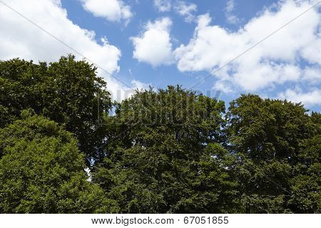 Treetops Of Broadleaf Trees Against A Blue Sky With White Clouds