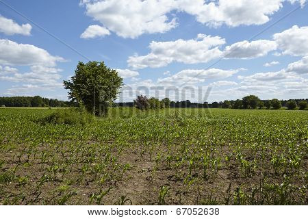 Field Of Young Corn Plants And Bushes With A Blue Sky And White Clouds