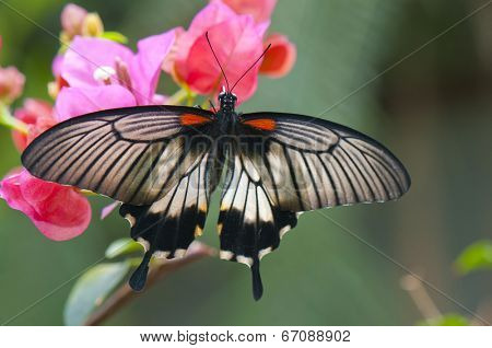 Detail of female great mormon (Papilio memnon agenor) butterfly perching on pink flower