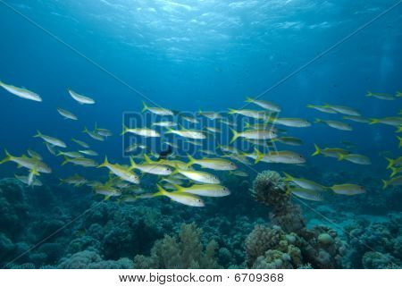 Yellowsaddle goatfish (Parupeneus cyclostomus) school over coral reef. Red Sea Egypt. poster