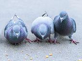 Parisian rock pigeons (Columba livia) at the edge of the Seine poster