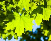 Bright green leaves of the maple tree in the sunshine. poster