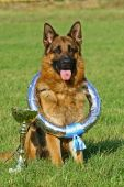 Dog of breed a German shepherd sitting with a cup and a wreath of the winner poster