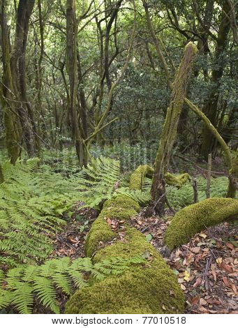 Subtropical Laurisilva Forest In Gomera. Canary Island. Spain