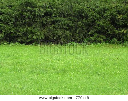 Grass and spruces