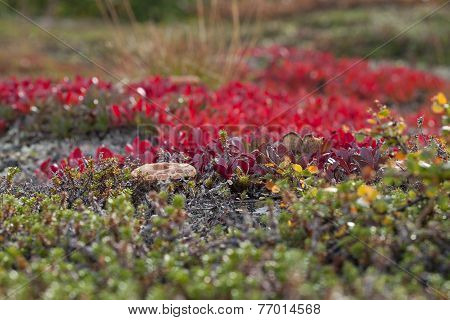 A small fungus among red bearberry.