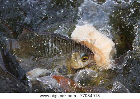 Fish In Pool