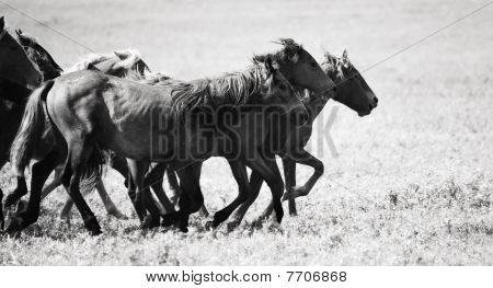A herd of young horses running very quickly poster