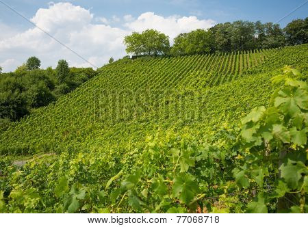 Vineyard on hill in Nordrhein-Westfalen, Germany