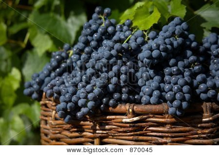 harvest of blue grape