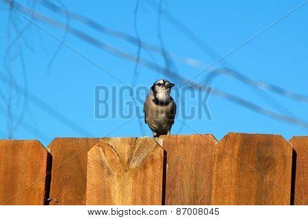 Blue Jay Bird On Fence Looking Away