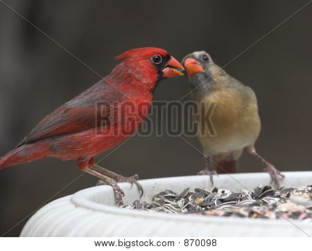 Male and female Cardinal sharing food during mating season in Texas. poster