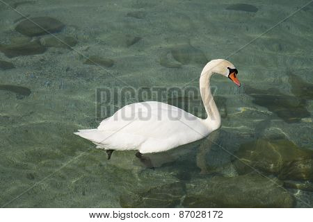 Swan floating in Lake Geneva